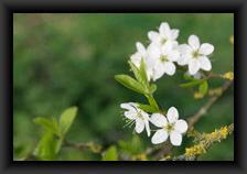 icone_fleurs_de_ligneux