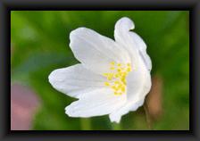 icone_fleurs_sauvages